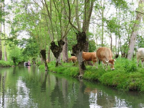 Valokuva  Vaches broutant dans le marais poitevin (France)