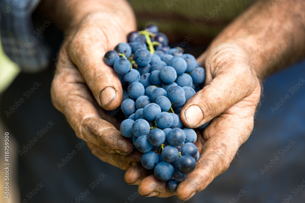 Fototapety, obrazy: Hand holding fresh bunch of grapes