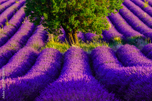 Poster Violet Lavender field at plateau Valensole, Provence, France