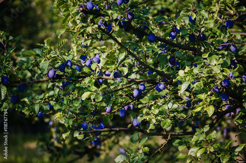 blue plums on the tree fruit