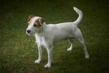 Jack Russell Parson Terrier Do...