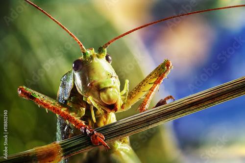 Canvas-taulu Grasshopper