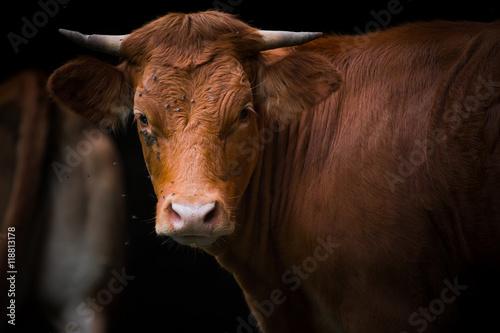 Poster de jardin Vache Vache
