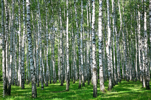 Photo sur Aluminium Bosquet de bouleaux Summer birch grove in sunlight