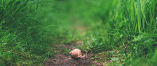 Close Up Snail Littleness In Tall Green Grass
