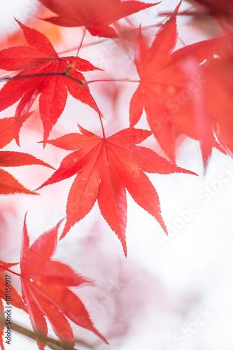 Poster Corail 紅葉
