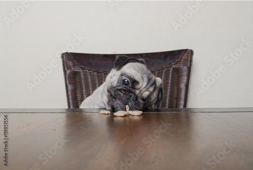 Photo Stands Grocery schattige mopshond zit aan houten tafel en eet hondenkoekje