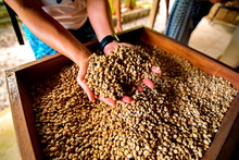 Dry Coffee Beans In Farmer Han...