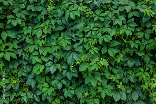 Poster Vegetal climbing plant ampelopsis as a green background