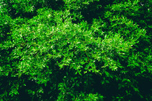 Green Tree Foliage In Spring