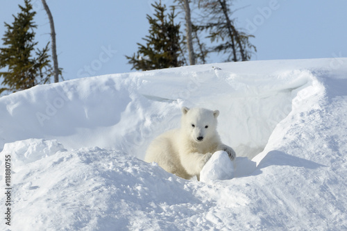 Obrazy na płótnie Canvas Polar bear (Ursus maritimus) cub coming out den and playing around, Wapusk national park, Canada.