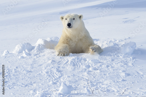 In de dag Ijsbeer Polar bear (Ursus maritimus) mother coming out freshly opened den with backlight, Wapusk national park, Canada.