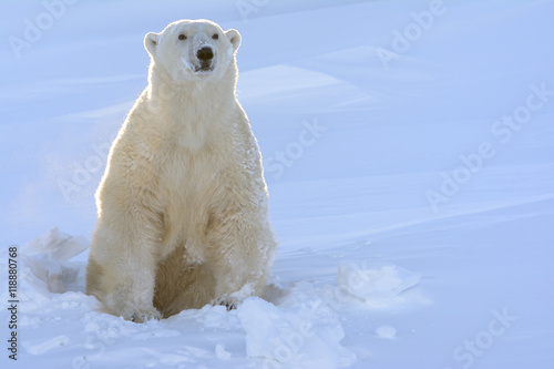 Deurstickers Ijsbeer Polar bear (Ursus maritimus) mother coming out freshly opened den with backlight, Wapusk national park, Canada.
