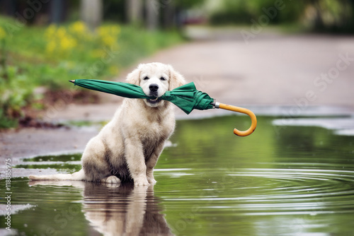 funny puppy sitting in a puddle holding an umbrella