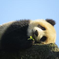 Panel Szklany Panda Panda