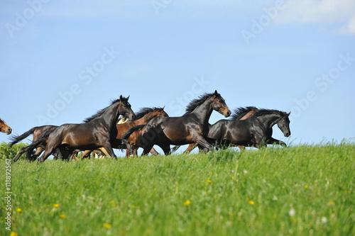 Obrazy na płótnie Canvas Pferde galoppieren über Weide
