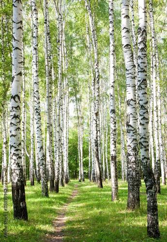 Photo sur Aluminium Bosquet de bouleaux Summer pathway in the sunny birch forest