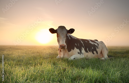 Photo Stands Cow relaxed cow on pasture at sunrise