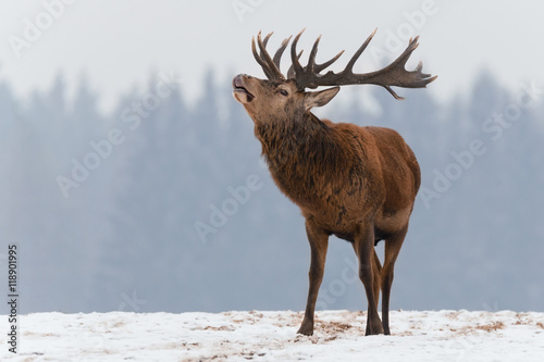 Single roaring beautiful deer on snowy field on forest background. Big red deer with beautiful horns on a snow-covered field.