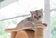 Cute Tabby Persian Cat
