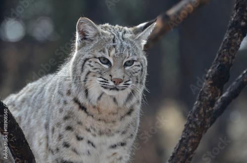 Foto auf Leinwand Luchs Wild Lynx Cat