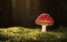 Toadstool, Close Up Of A Poiso...