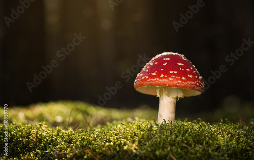 Fotografija Toadstool, close up of a poisonous mushroom in the forest