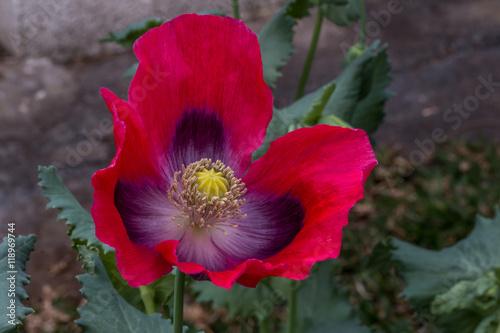 Fleur De Pavot Pavot A L Ile De La Reunion Buy This Stock Photo