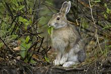 Snowshoe Hare, Arctic National Wildlife Refuge, Alaska