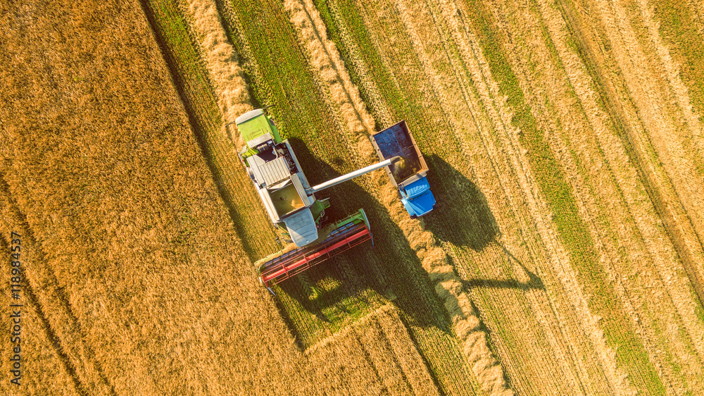 Fototapety, obrazy: Harvester machine working in field . Combine harvester agriculture machine harvesting golden ripe wheat field. Agriculture. Aerial view. From above.