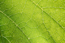 Grape Leaf Close-up