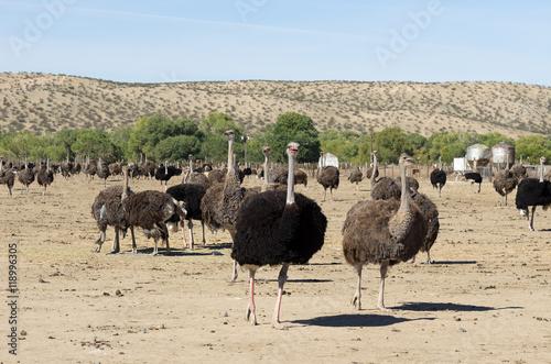 Fotografie, Obraz  An ostrich farm in Southern California