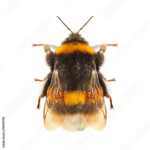 Foto The Bumblebee or Bumble Bee (Bombus terrestris) is important pollinator of both crops and wildflowers
