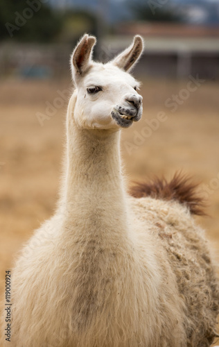 Poster Lama Domestic Llama front view. Domestic Llama (Lama glama) in Northern California farm.