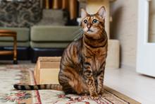 Savannah Wild Cat Walking And Hunting In Desert