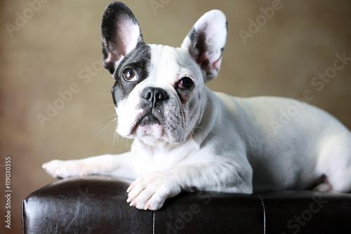 Deurstickers Franse bulldog Französische Bulldogge Junghund