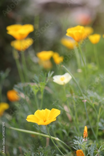 Fotografie, Obraz  yellow californian poppy