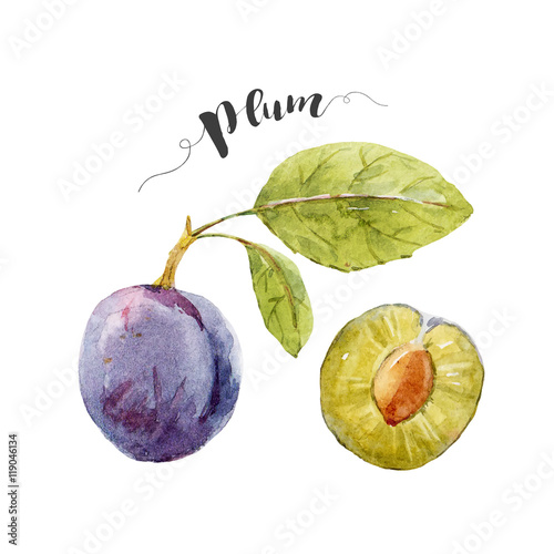 Photo  Watercolor hand drawn plum