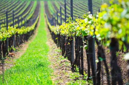 La pose en embrasure Vignoble Summer vineyard landscape, selective focus