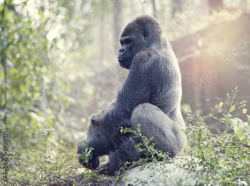 Photo  Silverback Gorilla