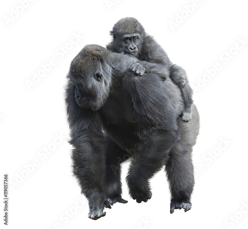 Photo  Gorilla Female with Her Baby