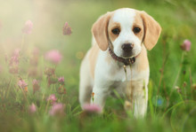 Cute Beagle Dog Puppy