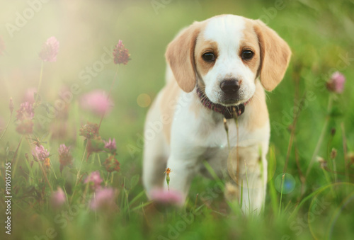 Cute beagle dog puppy Canvas Print