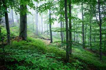 Panel Szklany Podświetlane Las Foggy beech forest after a rain.