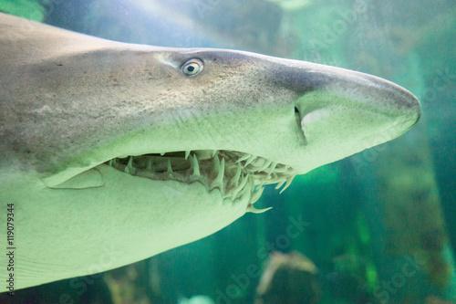 Obraz na dibondzie (fotoboard) Bull rekin