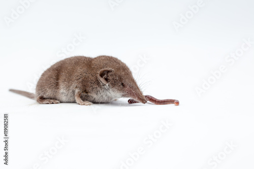 Fotografie, Obraz  shrew with earthworm