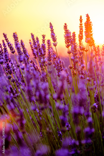 Blooming lavender in a field at sunset in Provence, France Canvas-taulu