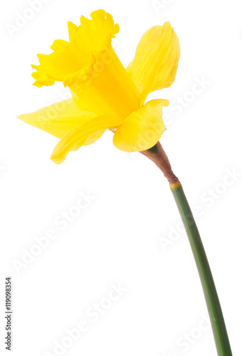 Foto auf Gartenposter Narzisse Daffodil flower or narcissus isolated on white background cutout