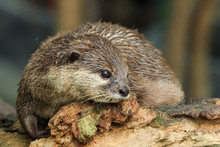An Oriental Small-clawed Otter...