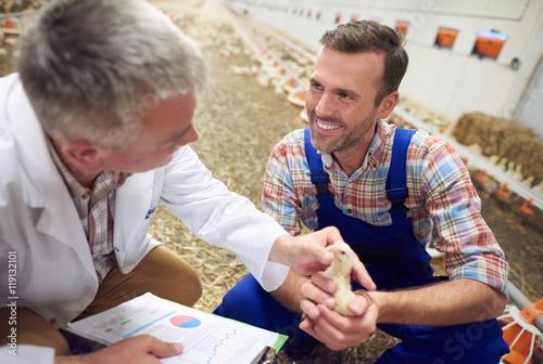 Vet checking the chicken's health Fototapeta
